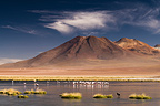 Flock of Andean Flamingos the frozen lake on in altiplano (Andean Flamingo)
