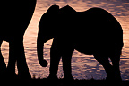 Elephant calf silhouetted against Okaukuejo waterhole (African elephant)