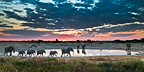 Marching elephants in waterhole Etosha NP Namibia (African elephant)