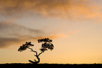 Lonely Ponderosa Pine tree in silhouette at sunset USA
