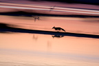 Red Fox running in marshes and scaring birds at morning (Red fox)
