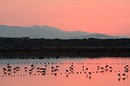 Flamingos at dawn in a marsh in summer France (Greater Flamingo)