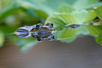 Edible Frog in a pond in front of a water lily France (frog)