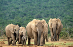 Group of African Elephant Addo Elephant NP South africa (African elephant)