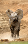 Young African Elephant Addo Elephant NP South africa (African elephant)