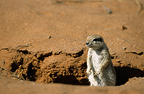 South African Ground Squirrel in Kgalagadi NP South africa (South african ground squirrel)