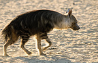 Striped Hyaena in Kgalagadi NP South africa (Striped Hyena )