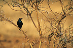 Greater Blue-eared Glossy-starling Game Reserve Pilanesberg (Blue-eared Glossy-Starling)