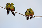 Austral Parakeets on a branch Patagonia Argentina (Austral Parakeet)