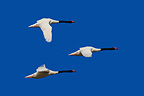 Black necked Swans flying Patagonia Argentina  (Black-necked Swan)