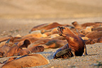 Colony Sea Lion Southern Patagonia Argentina  (Southern sea lion )