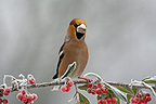 Grosbec breaker cores male on a branch in winter Alsace (Hawfinch)