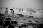 King penguins walking in a blizzard at Kerguelen Islands (King penguin)