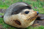 Portrait of a Subantarctic Fur Seal Kerguelen island (Subantarctic fur seal)