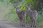 Young Waterbucks on track Kruger South Africa (Waterbuck)