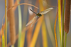 Emperor Dragonfly flight in the Reeds in Ard�che France