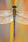 Emperor Dragonfly at dusk near a pond in the Ard�che