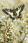 Oldworld Swallowtail raised among the white flowers France