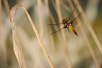 Landing of a Broad-bodied Chaser France
