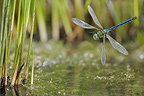 Emperor Dragonfly flight above water France