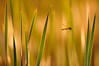 Ruddy Darter at dusk at spring France