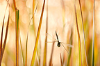 Southern Hawker Dragonfly flight in the reeds