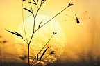 Dragonfly at dusk Ard�che France
