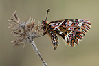 Southern Festoon at spring Ard�che France
