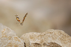 Painted Lady in flight over a rocky path, France