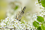 Scarce Swallowtail flying in the flowers of Hawthorn France