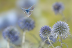 Adonis Blue flying over thistles France