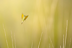 Clouded Yellow flying in dry grasses France