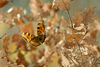 Large Tortoiseshell in flight in winter Ard�che France