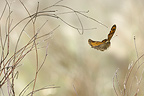Wall Brown in flight at the end of winter Ard�che France