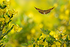 Meadow Brown in flight among the flowers Ard�che France (Meadow Brown)