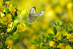 Landing a Large White on broom flowers France