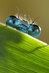 Portrait of an Azure Damselfly