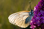 Black-veined white on orchid Cevennes France