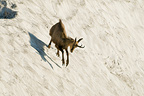 Chamois playing on the remnants of snow Hohnceck Vosges (Chamois)