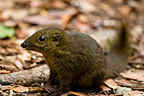 Common Treeshrew on ground Mount Kinabalu Sabah Borneo (Common tree shrew )