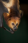 Greater Mascarene Flying Fox bred at Black River aviaries (Greater Mascarene Flying Fox)