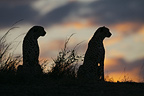 Two male Cheetahs hunting in twilight Masai Mara NR Kenya (Cheetah)