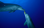 Bottlenose Dolphins playing with a sponge Tuamotu Polynesia (Bottlenose dolphin)