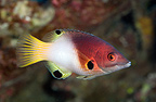 Axilspot hogfish in reef Tuamotu French Polynesia (Axilspot hogfish)