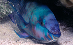 Parrot-fish making mucus cocoon at night Polynesia (Parrotfish)