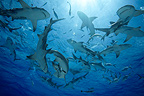 Gathering of Lemon sharks under surface Bahamas (Lemon shark )