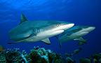 Grey Reef Sharks swim above the reef Tuamotu Polynesia� (Grey reef shark)