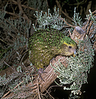 Kakapo on branch (Kakapo)