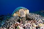 Hawksbill turtle feeding on the reef Tuamotu Polynesia  (Hawksbill sea turtle)