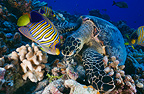 Hawksbill turtle and angelfish feeding on the reef Polynesia (Hawksbill turtles)